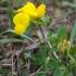 Paprastasis garždenis - Lotus corniculatus | Fotografijos autorius : Gintautas Steiblys | © Macrogamta.lt | Šis tinklapis priklauso bendruomenei kuri domisi makro fotografija ir fotografuoja gyvąjį makro pasaulį.