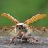 Paprastasis grambuolys - Melolontha melolontha | Fotografijos autorius : Agnė Našlėnienė | © Macrogamta.lt | Šis tinklapis priklauso bendruomenei kuri domisi makro fotografija ir fotografuoja gyvąjį makro pasaulį.