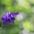 Paprastasis sinavadas - Aquilegia vulgaris | Fotografijos autorius : Agnė Našlėnienė | © Macrogamta.lt | Šis tinklapis priklauso bendruomenei kuri domisi makro fotografija ir fotografuoja gyvąjį makro pasaulį.