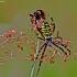 Paprastasis vapsvavoris - Argiope bruennichi | Fotografijos autorius : Elmaras Duderis | © Macrogamta.lt | Šis tinklapis priklauso bendruomenei kuri domisi makro fotografija ir fotografuoja gyvąjį makro pasaulį.