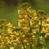Paprastoji barborytė - Barbarea vulgaris | Fotografijos autorius : Ramunė Vakarė | © Macrogamta.lt | Šis tinklapis priklauso bendruomenei kuri domisi makro fotografija ir fotografuoja gyvąjį makro pasaulį.