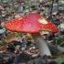 Paprastoji musmirė - Amanita muscaria | Fotografijos autorius : Vytautas Gluoksnis | © Macrogamta.lt | Šis tinklapis priklauso bendruomenei kuri domisi makro fotografija ir fotografuoja gyvąjį makro pasaulį.