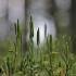 Pataisas šarkakojis – Lycopodium clavatum   Fotografijos autorius : Agnė Našlėnienė   © Macrogamta.lt   Šis tinklapis priklauso bendruomenei kuri domisi makro fotografija ir fotografuoja gyvąjį makro pasaulį.
