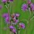 Paupinė usnis - Cirsium rivulare   Fotografijos autorius : Kęstutis Obelevičius   © Macrogamta.lt   Šis tinklapis priklauso bendruomenei kuri domisi makro fotografija ir fotografuoja gyvąjį makro pasaulį.