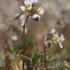 Pavasarinė ankstyvė - Draba verna | Fotografijos autorius : Gintautas Steiblys | © Macrogamta.lt | Šis tinklapis priklauso bendruomenei kuri domisi makro fotografija ir fotografuoja gyvąjį makro pasaulį.