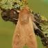 Gelsvarudis pievinukas - Mythimna ferrago   Fotografijos autorius : Vidas Brazauskas   © Macrogamta.lt   Šis tinklapis priklauso bendruomenei kuri domisi makro fotografija ir fotografuoja gyvąjį makro pasaulį.