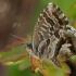 Pelargoninis melsvys - Cacyreus marshalli | Fotografijos autorius : Gintautas Steiblys | © Macrogamta.lt | Šis tinklapis priklauso bendruomenei kuri domisi makro fotografija ir fotografuoja gyvąjį makro pasaulį.
