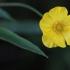 Pelkinis vėdrynas - Ranunculus lingua | Fotografijos autorius : Agnė Našlėnienė | © Macrogamta.lt | Šis tinklapis priklauso bendruomenei kuri domisi makro fotografija ir fotografuoja gyvąjį makro pasaulį.