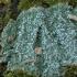 Pertusaria albescens   Fotografijos autorius : Vytautas Gluoksnis   © Macrogamta.lt   Šis tinklapis priklauso bendruomenei kuri domisi makro fotografija ir fotografuoja gyvąjį makro pasaulį.