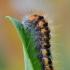 Pilkrudis strėlinukas - Acronicta auricoma, vikšras   Fotografijos autorius : Arūnas Eismantas   © Macrogamta.lt   Šis tinklapis priklauso bendruomenei kuri domisi makro fotografija ir fotografuoja gyvąjį makro pasaulį.