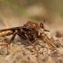 Vapsviškoji plėšriamusė - Asilus crabroniformis | Fotografijos autorius : Zita Gasiūnaitė | © Macrogamta.lt | Šis tinklapis priklauso bendruomenei kuri domisi makro fotografija ir fotografuoja gyvąjį makro pasaulį.