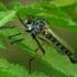 Plėšriamusė - Neoitamus cf. cyanurus  | Fotografijos autorius : Gintautas Steiblys | © Macrogamta.lt | Šis tinklapis priklauso bendruomenei kuri domisi makro fotografija ir fotografuoja gyvąjį makro pasaulį.