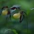 Plačialapė klumpaitė - Cypripedium calceolus | Fotografijos autorius : Zita Gasiūnaitė | © Macrogamta.lt | Šis tinklapis priklauso bendruomenei kuri domisi makro fotografija ir fotografuoja gyvąjį makro pasaulį.