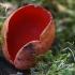 Plačiataurė - Sarcoscypha sp.  | Fotografijos autorius : Gintautas Steiblys | © Macrogamta.lt | Šis tinklapis priklauso bendruomenei kuri domisi makro fotografija ir fotografuoja gyvąjį makro pasaulį.