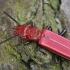 Pušinis plokščiavabalis - Cucujus haematodes | Fotografijos autorius : Gintautas Steiblys | © Macrogamta.lt | Šis tinklapis priklauso bendruomenei kuri domisi makro fotografija ir fotografuoja gyvąjį makro pasaulį.