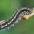 Puošnioji meškutė - Callimorpha dominula, vikšras  | Fotografijos autorius : Gintautas Steiblys | © Macrogamta.lt | Šis tinklapis priklauso bendruomenei kuri domisi makro fotografija ir fotografuoja gyvąjį makro pasaulį.