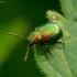 Rūgštyninis rūgtinukas - Gastrophysa viridula | Fotografijos autorius : Romas Ferenca | © Macrogamta.lt | Šis tinklapis priklauso bendruomenei kuri domisi makro fotografija ir fotografuoja gyvąjį makro pasaulį.