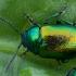 Rūgštyninis rūgtinukas - Gastrophysa viridula | Fotografijos autorius : Žilvinas Pūtys | © Macrogamta.lt | Šis tinklapis priklauso bendruomenei kuri domisi makro fotografija ir fotografuoja gyvąjį makro pasaulį.