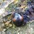 Raudonpetis kerpvabalis - Anisotoma humeralis | Fotografijos autorius : Romas Ferenca | © Macrogamta.lt | Šis tinklapis priklauso bendruomenei kuri domisi makro fotografija ir fotografuoja gyvąjį makro pasaulį.