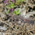 Raudonsparnis tarkšlys - Psophus stridulus | Fotografijos autorius : Darius Baužys | © Macrogamta.lt | Šis tinklapis priklauso bendruomenei kuri domisi makro fotografija ir fotografuoja gyvąjį makro pasaulį.