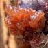 Drebutis - Exidia saccharina | Fotografijos autorius : Ramunė Vakarė | © Macrogamta.lt | Šis tinklapis priklauso bendruomenei kuri domisi makro fotografija ir fotografuoja gyvąjį makro pasaulį.