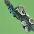 Rožinis pūkanugaris-Thyatira batis | Fotografijos autorius : Aivaras Markauskas | © Macrogamta.lt | Šis tinklapis priklauso bendruomenei kuri domisi makro fotografija ir fotografuoja gyvąjį makro pasaulį.