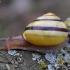 Rudalūpė dryžė - Cepaea nemoralis   Fotografijos autorius : Romas Ferenca   © Macrogamta.lt   Šis tinklapis priklauso bendruomenei kuri domisi makro fotografija ir fotografuoja gyvąjį makro pasaulį.