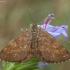 Rudasprindis - Ematurga atomaria ♂ | Fotografijos autorius : Žilvinas Pūtys | © Macrogamta.lt | Šis tinklapis priklauso bendruomenei kuri domisi makro fotografija ir fotografuoja gyvąjį makro pasaulį.