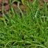 Rudoji viksvuolė - Cyperus fuscus   Fotografijos autorius : Kęstutis Obelevičius   © Macrogamta.lt   Šis tinklapis priklauso bendruomenei kuri domisi makro fotografija ir fotografuoja gyvąjį makro pasaulį.