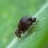 Rutuliškoji podūra - Sminthuridae | Fotografijos autorius : Vidas Brazauskas | © Macrogamta.lt | Šis tinklapis priklauso bendruomenei kuri domisi makro fotografija ir fotografuoja gyvąjį makro pasaulį.