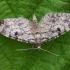 Eglinis sprindytis - Eupithecia tantillaria | Fotografijos autorius : Gintautas Steiblys | © Macrogamta.lt | Šis tinklapis priklauso bendruomenei kuri domisi makro fotografija ir fotografuoja gyvąjį makro pasaulį.