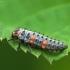 Septyntaškė boružė - Coccinella septempunctata, lerva | Fotografijos autorius : Vidas Brazauskas | © Macrogamta.lt | Šis tinklapis priklauso bendruomenei kuri domisi makro fotografija ir fotografuoja gyvąjį makro pasaulį.