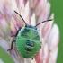 Medinės skydblakės - Palomena prasina nimfa | Fotografijos autorius : Gintautas Steiblys | © Macrogamta.lt | Šis tinklapis priklauso bendruomenei kuri domisi makro fotografija ir fotografuoja gyvąjį makro pasaulį.