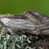 Slėpinukas - Harpyia milhauseri | Fotografijos autorius : Žilvinas Pūtys | © Macrogamta.lt | Šis tinklapis priklauso bendruomenei kuri domisi makro fotografija ir fotografuoja gyvąjį makro pasaulį.