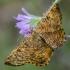 Slyvinis sprindžius | Orange Moth | Angerona prunaria | Fotografijos autorius : Darius Baužys | © Macrogamta.lt | Šis tinklapis priklauso bendruomenei kuri domisi makro fotografija ir fotografuoja gyvąjį makro pasaulį.