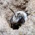 Smėliabitė - Andrena cineraria | Fotografijos autorius : Romas Ferenca | © Macrogamta.lt | Šis tinklapis priklauso bendruomenei kuri domisi makro fotografija ir fotografuoja gyvąjį makro pasaulį.