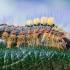 Sodinis šepetinukas - Orgyia antiqua | Fotografijos autorius : Oskaras Venckus | © Macrogamta.lt | Šis tinklapis priklauso bendruomenei kuri domisi makro fotografija ir fotografuoja gyvąjį makro pasaulį.