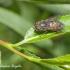 Sparva - Hybomitra bimaculata | Fotografijos autorius : Aleksandras Naryškin | © Macrogamta.lt | Šis tinklapis priklauso bendruomenei kuri domisi makro fotografija ir fotografuoja gyvąjį makro pasaulį.