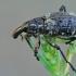 Straubliukas - Coniocleonus hollbergii | Fotografijos autorius : Gintautas Steiblys | © Macrogamta.lt | Šis tinklapis priklauso bendruomenei kuri domisi makro fotografija ir fotografuoja gyvąjį makro pasaulį.