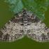 Tamsiajuostis skiautenis - Lobophora halterata | Fotografijos autorius : Žilvinas Pūtys | © Macrogamta.lt | Šis tinklapis priklauso bendruomenei kuri domisi makro fotografija ir fotografuoja gyvąjį makro pasaulį.