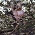 Tamsusis vikrūnas - Philodromus fuscomarginatus | Fotografijos autorius : Kazimieras Martinaitis | © Macrogamta.lt | Šis tinklapis priklauso bendruomenei kuri domisi makro fotografija ir fotografuoja gyvąjį makro pasaulį.