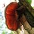 Tikrasis ausiagrybis - Auricularia auricula-judae | Fotografijos autorius : Vitalii Alekseev | © Macrogamta.lt | Šis tinklapis priklauso bendruomenei kuri domisi makro fotografija ir fotografuoja gyvąjį makro pasaulį.
