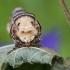 Tošinis kuoduotis - Phalera bucephala | Fotografijos autorius : Darius Baužys | © Macrogamta.lt | Šis tinklapis priklauso bendruomenei kuri domisi makro fotografija ir fotografuoja gyvąjį makro pasaulį.