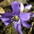 Triskiautė žibuoklė - Hepatica nobilis | Fotografijos autorius : Agnė Kulpytė | © Macrogamta.lt | Šis tinklapis priklauso bendruomenei kuri domisi makro fotografija ir fotografuoja gyvąjį makro pasaulį.