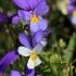 Trispalvė našlaitė - Viola tricolor | Fotografijos autorius : Ramunė Vakarė | © Macrogamta.lt | Šis tinklapis priklauso bendruomenei kuri domisi makro fotografija ir fotografuoja gyvąjį makro pasaulį.