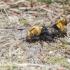 Geltonkailis trumpasparnis - Emus hirtus | Fotografijos autorius : Aleksandras Naryškin | © Macrogamta.lt | Šis tinklapis priklauso bendruomenei kuri domisi makro fotografija ir fotografuoja gyvąjį makro pasaulį.