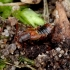 Trumpasparnis - Lomechusoides strumosus   Fotografijos autorius : Romas Ferenca   © Macrogamta.lt   Šis tinklapis priklauso bendruomenei kuri domisi makro fotografija ir fotografuoja gyvąjį makro pasaulį.