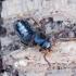 Trumpasparnis - Zyras humeralis | Fotografijos autorius : Romas Ferenca | © Macrogamta.lt | Šis tinklapis priklauso bendruomenei kuri domisi makro fotografija ir fotografuoja gyvąjį makro pasaulį.