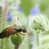 Trumpasparnis - Staphylinus dimidiaticornis | Fotografijos autorius : Vidas Brazauskas | © Macrogamta.lt | Šis tinklapis priklauso bendruomenei kuri domisi makro fotografija ir fotografuoja gyvąjį makro pasaulį.