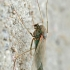 Uodas trūklys - Chironomus cf tentans | Fotografijos autorius : Gintautas Steiblys | © Macrogamta.lt | Šis tinklapis priklauso bendruomenei kuri domisi makro fotografija ir fotografuoja gyvąjį makro pasaulį.